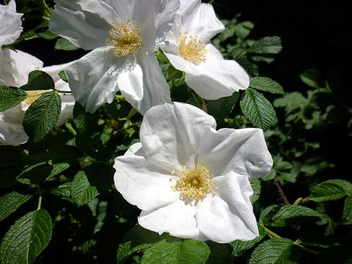 wハマナシ(白花)