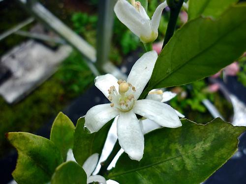 wミカンの花