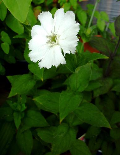 wマツモトセンノウ(白花)
