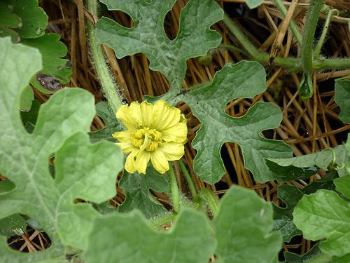 yスイカの花